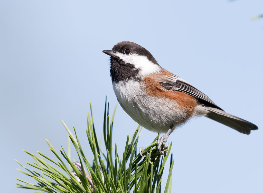 Chestnut-backed Chickadee on pine tree
