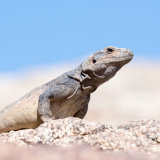 Chuckwalla coming out for morning sun-2