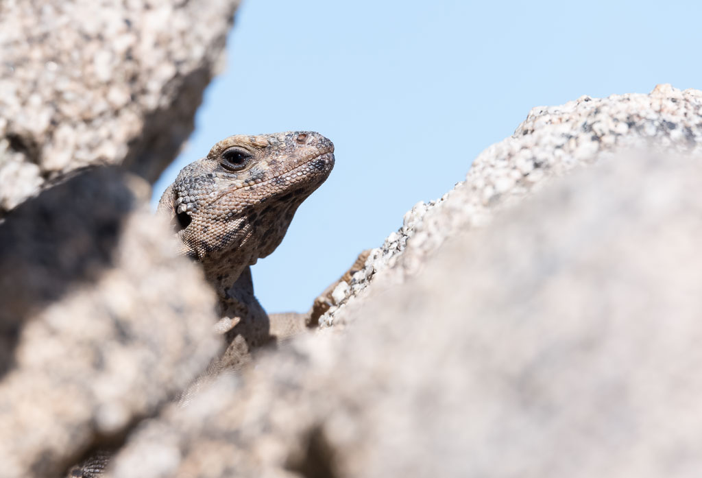 Chuckwalla keeping an eye on me-2