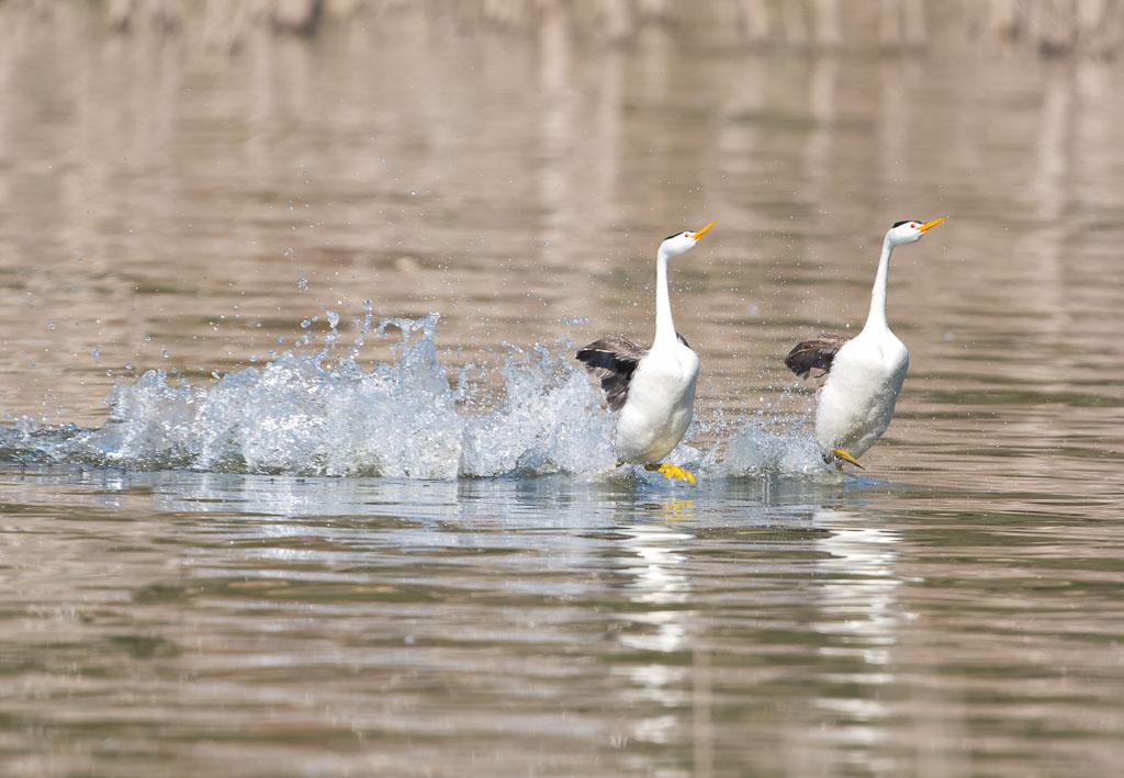 Clark's Grebe rushing across water's surface