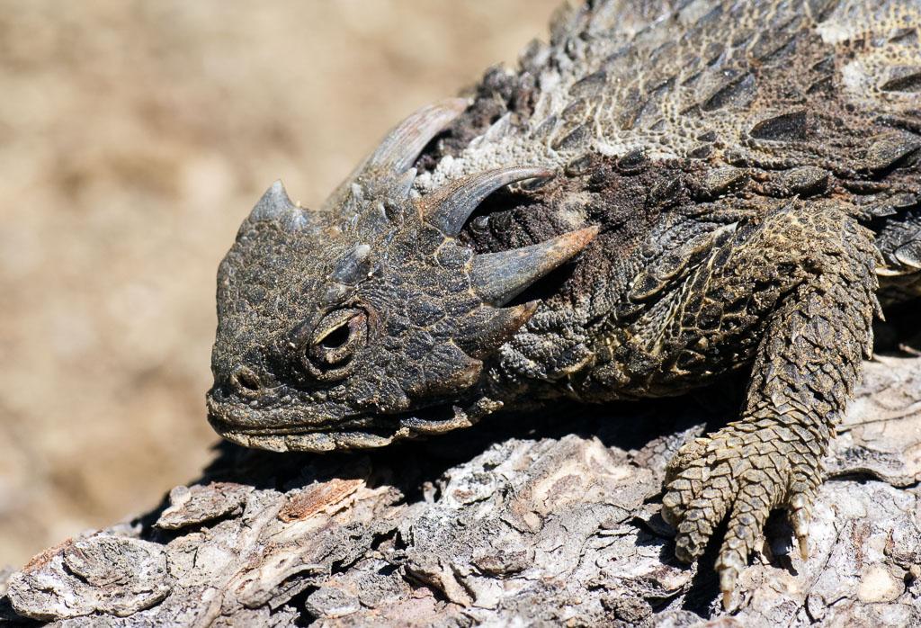 Coast Horned Lizard close up on log