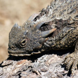 Coast Horned Lizard close up on log