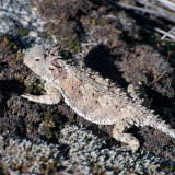 Coast Horned Lizard on dry moss