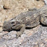 Coast Horned Lizard on log