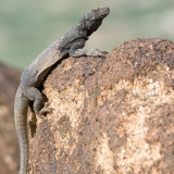 Common Chuckwalla climbing