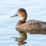Common Pochard female