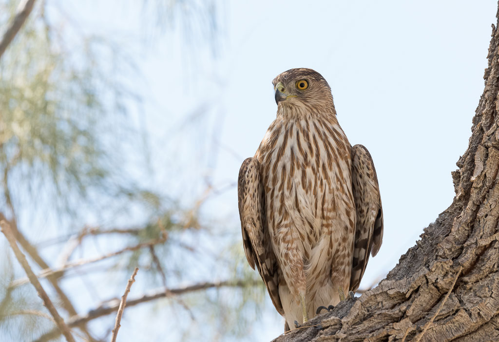 Coopers Hawk in Cottonwood-2