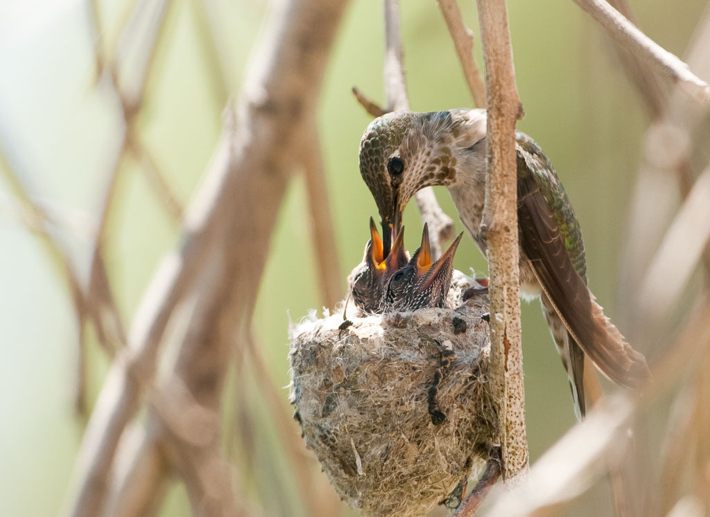 Costa's Hummingbird feeding chicks