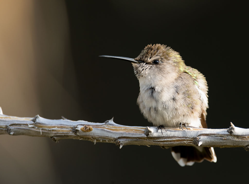 Costa's Hummingbird on Ocotillo