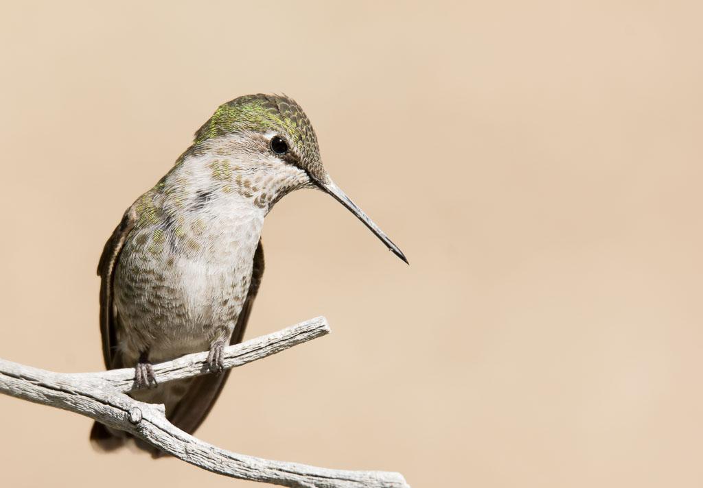 Costa's Hummingbird on twig