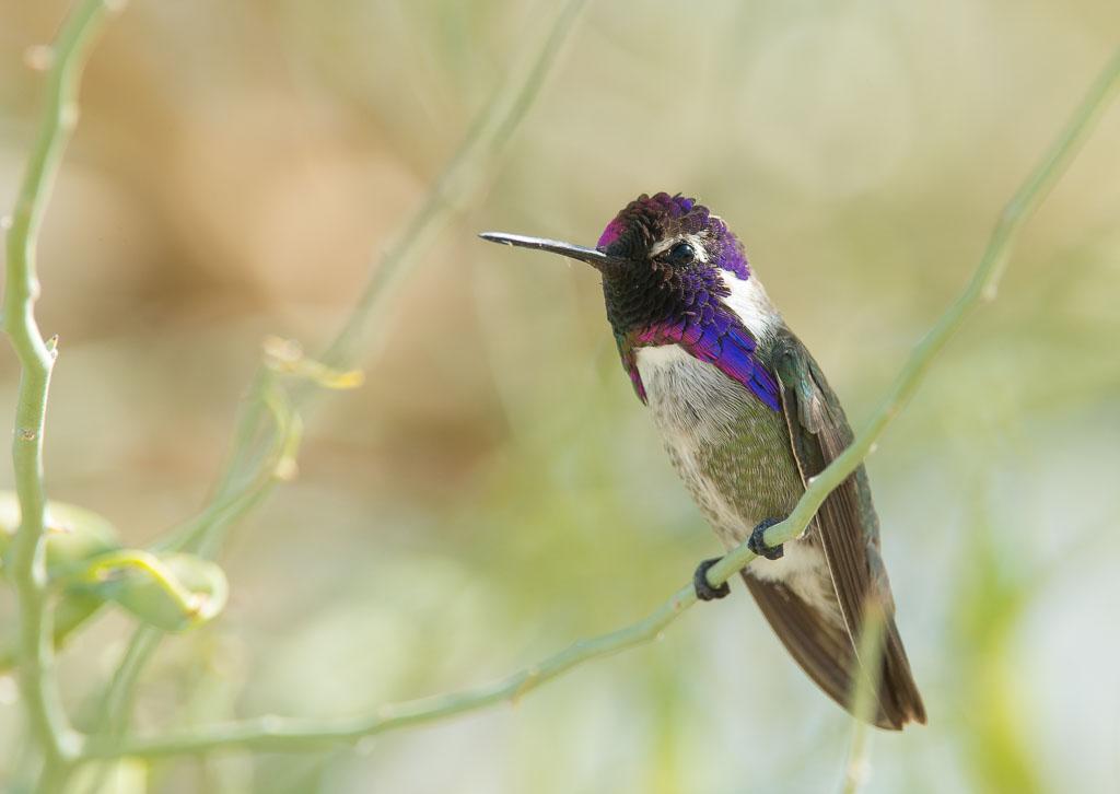 Costa's Hummingbird sitting in bush