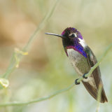 Costa's Hummingbird sitting in bush