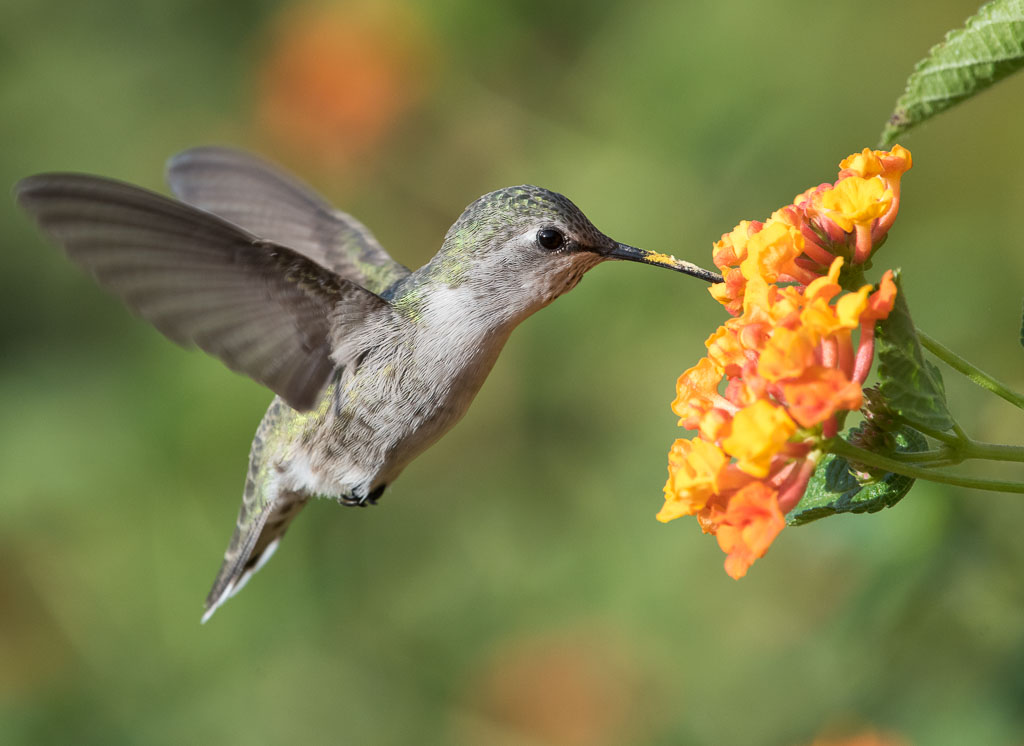 Cotsa's Hummingbird feeding on lantana