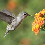Cotsa's Hummingbird feeding on lantana