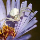 Crab Spider on Michaelmas daisy
