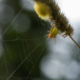 Crab Spider with egg sac