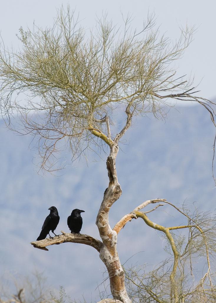 Crows pair in Palo Verde