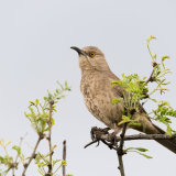 Curve-billed Thrasher-2