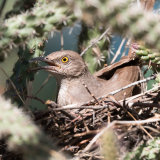 Curve-billed Thrasher nest in Cholla-2