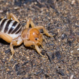 Dark Jerusalem Potato beetle