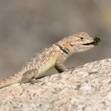 Desert-Spiny Lizard with bee-2