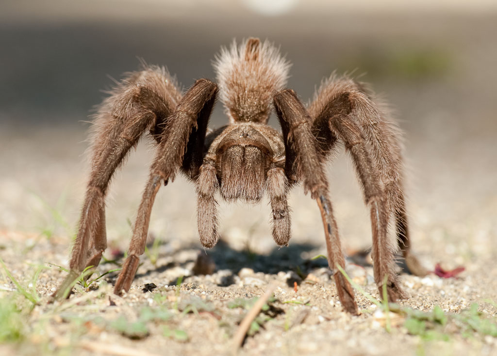 Desert Blonde Tarantula stood to attention
