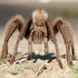 Desert Blonde Tarantula stood to attention