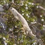 Desert Iguana Lizard feeding on creosote bush