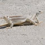 Desert Iguana Lizard mating