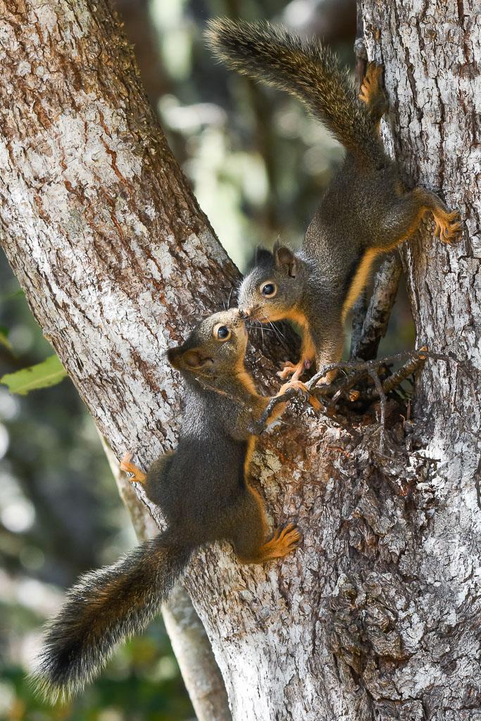 Douglas Squirrels kissing
