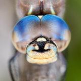 Dragonfly Blue-eyed Darner