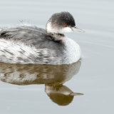 Eared Grebe winter