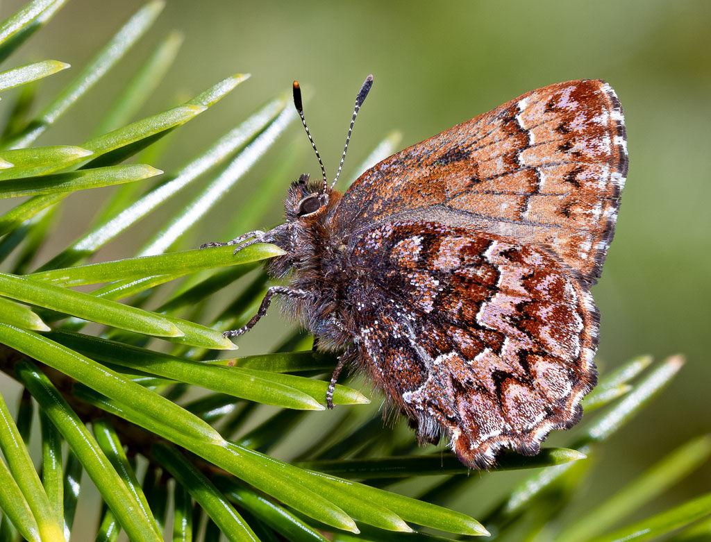 Elfin Butterfly on conifer