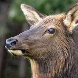 Elk portrate