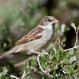 European Sparrow in scrub oak