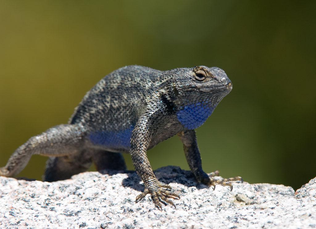 Fence Lizard doing press-ups