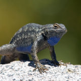 Fence Lizard doing press-ups