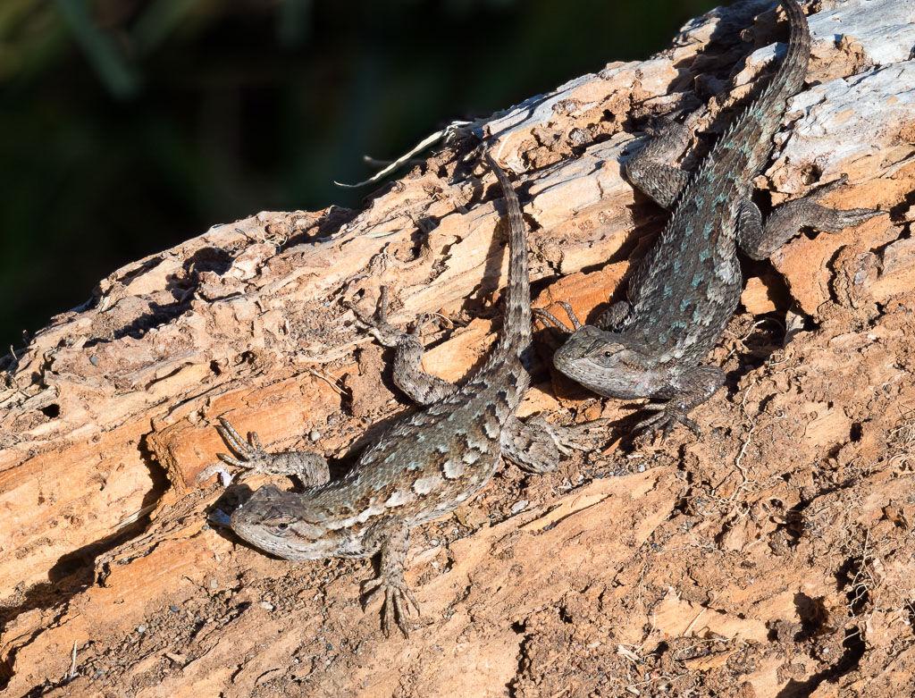 Fence Lizard pair on dead log