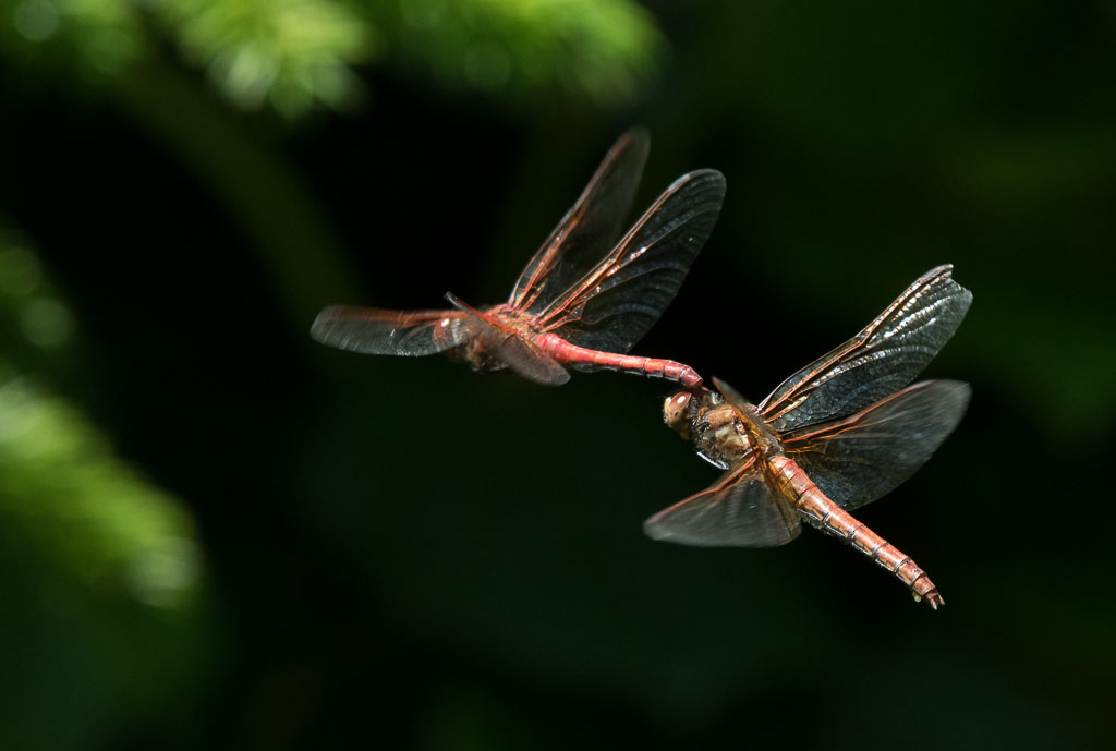 Flame-skimmers laying eggs