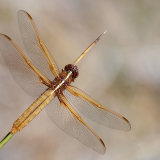 Flame Skimmer female