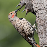 Flicker feeding chicks