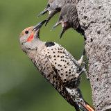 Flicker feeding chicks
