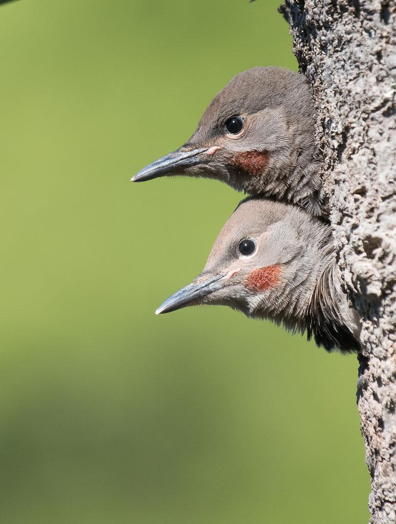 Flicker male chicks awaiting food
