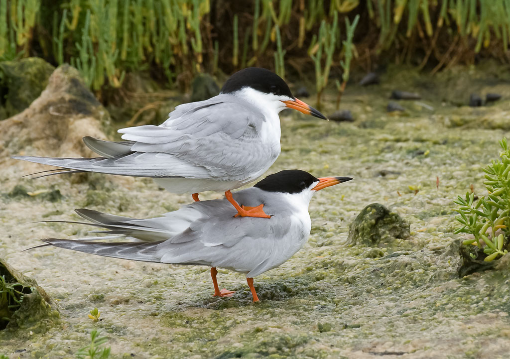Forster's Tern pair mating