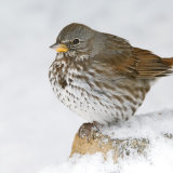 Fox Sparrow in snow