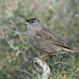 Gold-crowned Sparrow in breeding plumage
