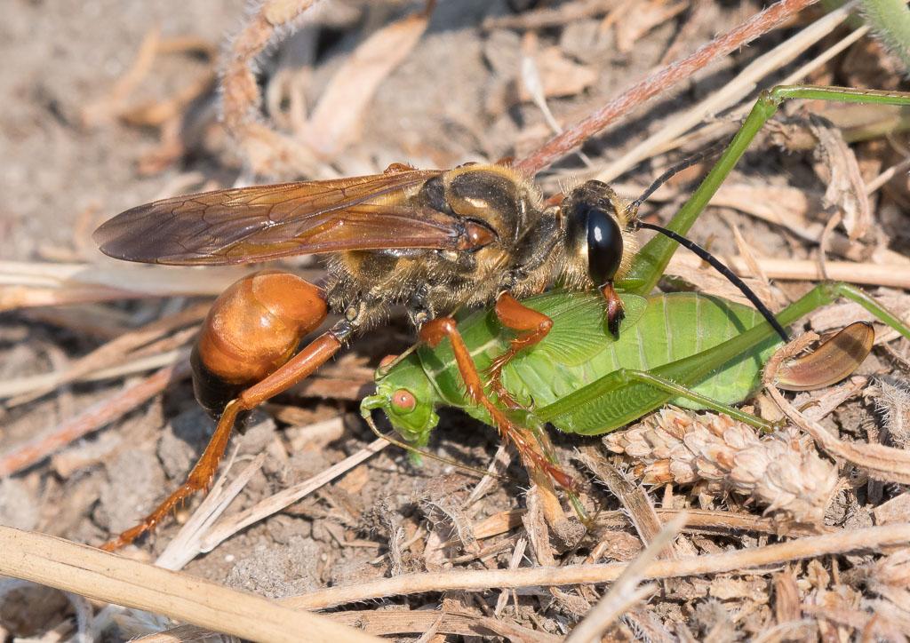 Golden Digger wasp with Katydid