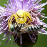 Goldenrod Crab Spider with Sand wasp