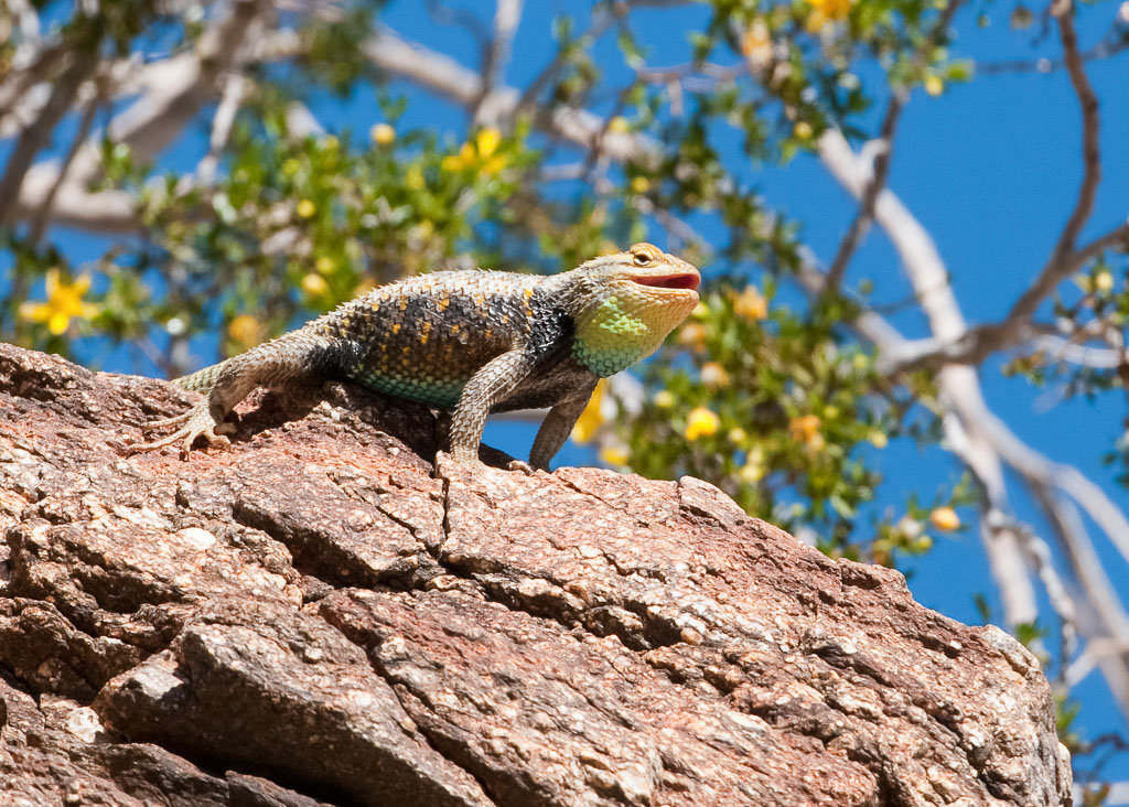 Granite-spiny Lizard light phase