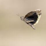 Grasshopper in flight